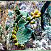 Feigenkaktus. (Opuntia ficus-indica) ©UdoSm