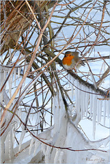 My little Fellow Robin...