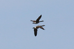 Two geese in flight