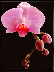 Orchid.  ©UdoSm
