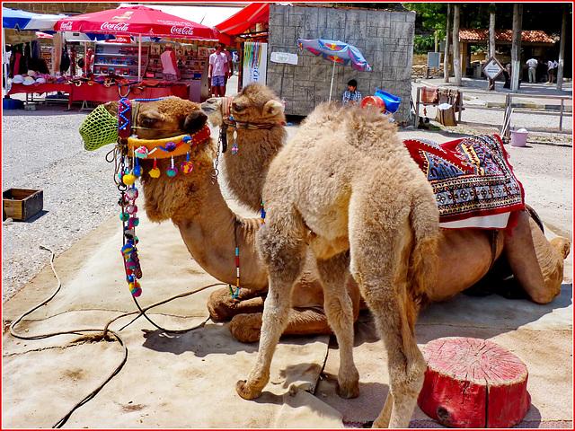 Manavgat : all'uscita del grande teatro di Aspendos incontro due spendidi cammelli : madre e figlio