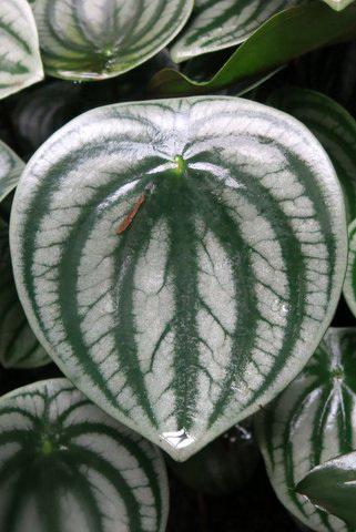 Peperomia argyreia (famille des Pipéracées) (Equateur, Vénézuela, Brésil, Bolivie)