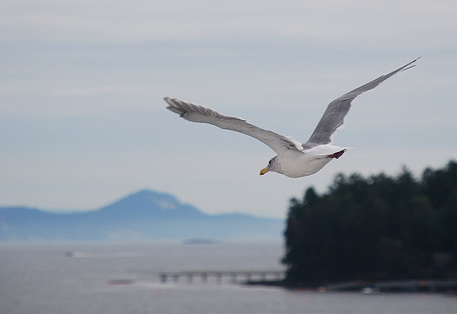 Flight of the Seagull