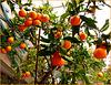Genova : produzione propria in vaso - 60 tarocchi senza semi ! (769)