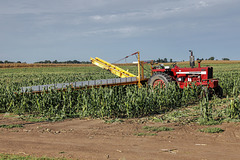 Sweet Corn Harvesting
