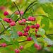 Fruits of Autumn  (spindle tree) Nov 2016