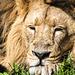 Lion in a sleepy mood