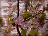 Cerisier du Japon ............Belle semaine mes ami(e)s !