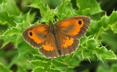 Gatekeeper Pyronia tithonusDSC 3449 arundel riverside