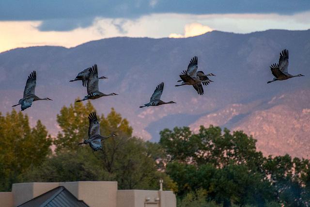Sandhill cranes5