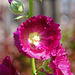 Stockrose in Violett