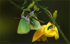 Green hairstreak in Love ♥ ~ Groentje (Callophrys rubi)... 2