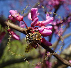 Redbud with Honey Bee