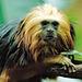 Lion tamarin (2)