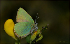 Green hairstreak ~ Groentje (Callophrys rubi)... 1