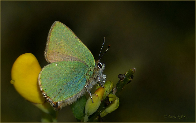 Green hairstreak ~ Groentje (Callophrys rubi)... 1