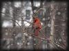 Cardinal on vine with snow