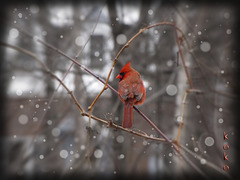 Cardinal on vine with snow