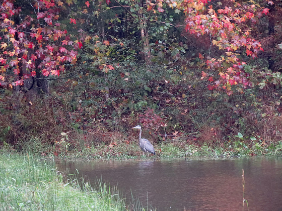 Great blue heron by the pond