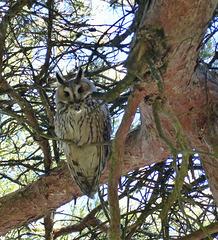 Hibou moyen-duc    (Asio otus)   (Long-eared Owl)