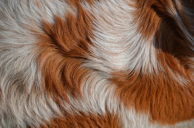 Le pelage roux de ma chienne