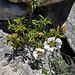 Cistus siblings and granite