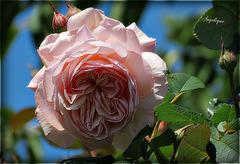 Mon Amie la Rose .........passez un bon we