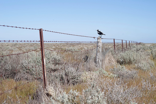 Outback magpie