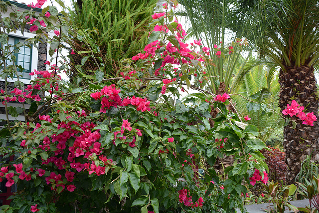 Azores, The Island of Pico, The Bush of Flowers