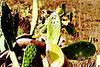 Cochenille-Schildlaus-Zucht bei Guatiza. ©UdoSm