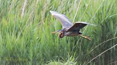 Héron pourpré - Ardea purpurea - Purple Heron