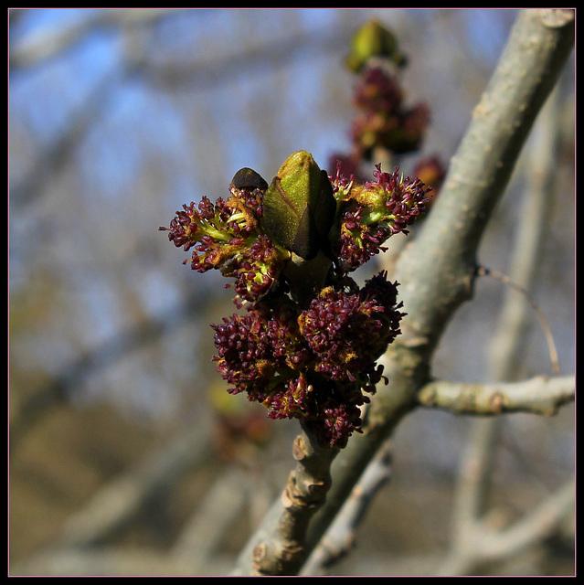Floraison de Frêne