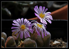 Ophtalmophyllum sp.
