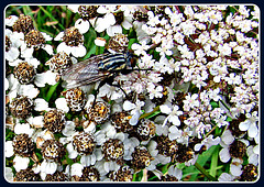 Fly on Weeds