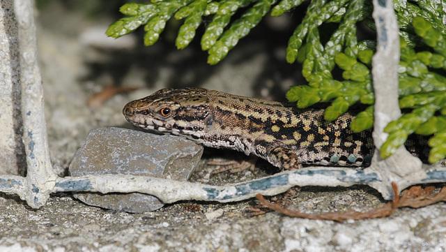 lézards et autres reptiles - Page 5 42453694.a10fb5df.640