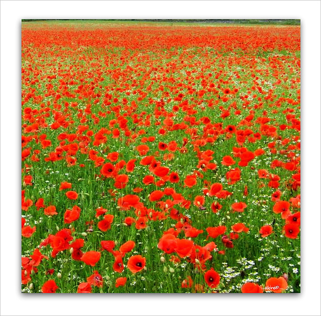 ...sea of the poppy...