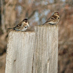 Common Redpolls / Acanthis flammea