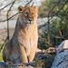 Lioness (10)