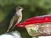 Ruby-throated Hummingbird / Archilochus colubris