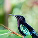 Martinique - Jardin de Balata - Hummingbird