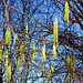 Catkins of Corylus avellana, the common hazel. Lochham, Munich.