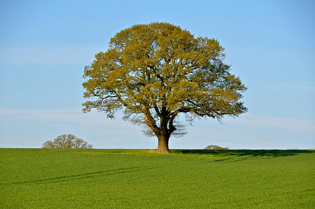 Lone tree in Staffordshire field