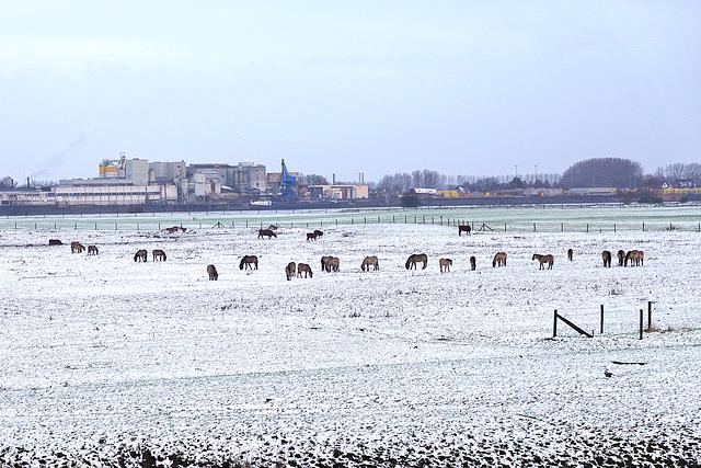 Koniks in the snow
