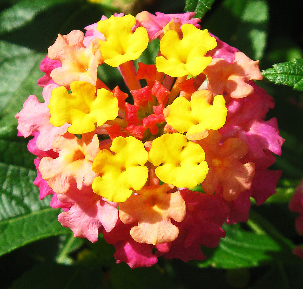 """Showy Lantana"" by My Lovely Wife (Explored)"