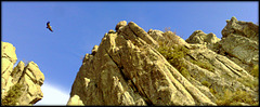 Griffon vulture at home among the granite cliffs.