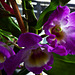 Lila Orchidee (2 x PiP)