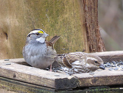 White-throated sparrow & house finch
