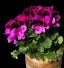 Pelargonia Grandiflora Aristo Burgund