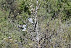 Streptopelia decaocto, Rola-turca, Cerro do Bufo