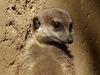 Meerkat deep in thought